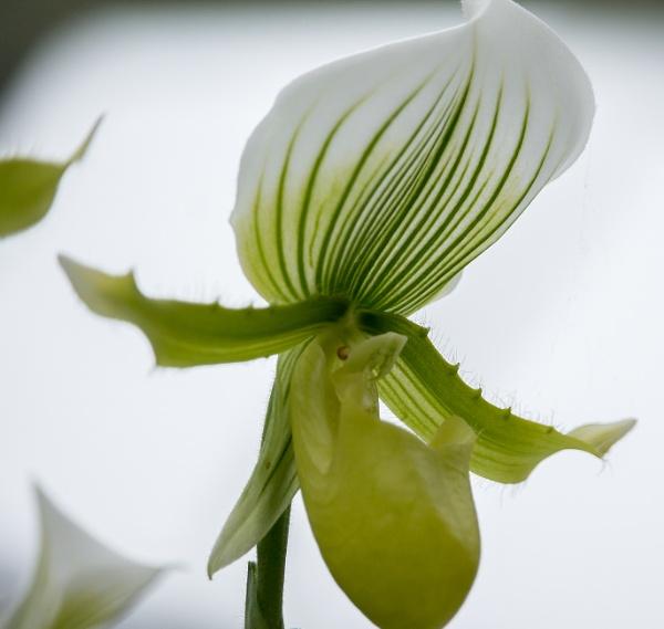 "Orchid at \""de Keukenhof\"" cropped version by kuipje"