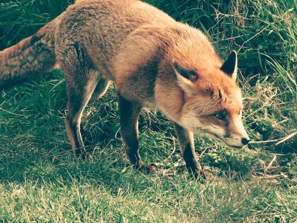 Fox by NatalieCHurrell