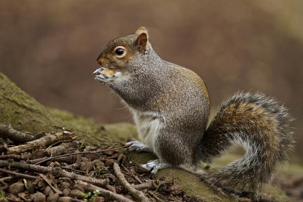 Grey Squirrel by Granddad
