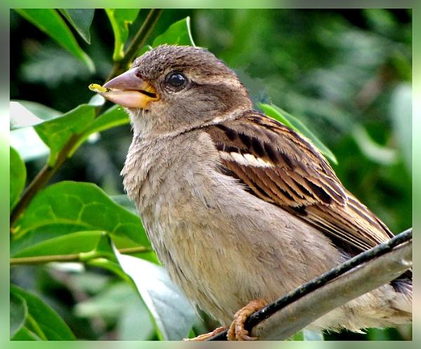 Sparrow by derekv