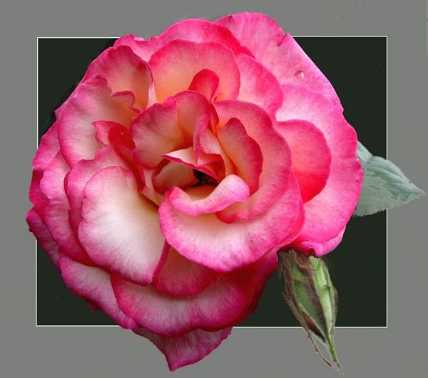 Pink Rose (Handel) by derekv