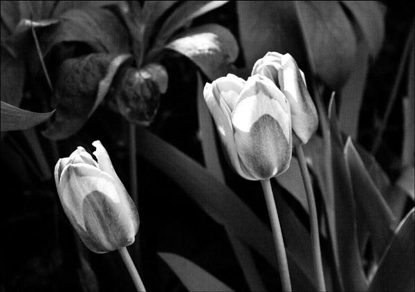 Tulips,  monochrome study. by rambler