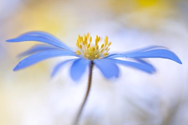 Anemone blanda by MandyD