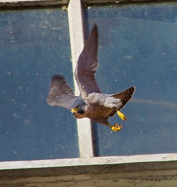 Peregrine in flight by phil19belfield