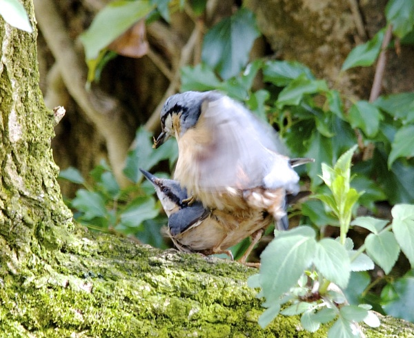 Nuthatches mating by PaulLiley