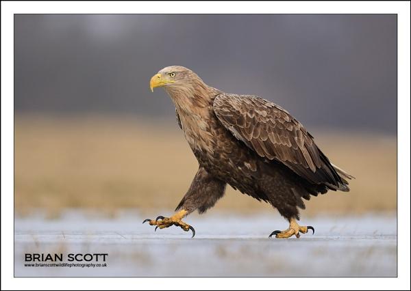 Eagle Walk by Brian_Scott