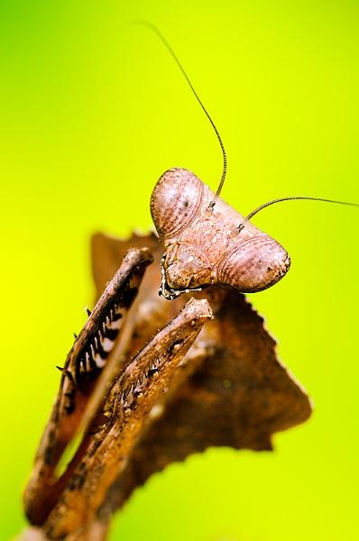 Malayan dead leaf Mantis by icphoto