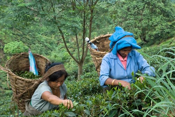 Darjeeling Tea Pickers by jasonrwl