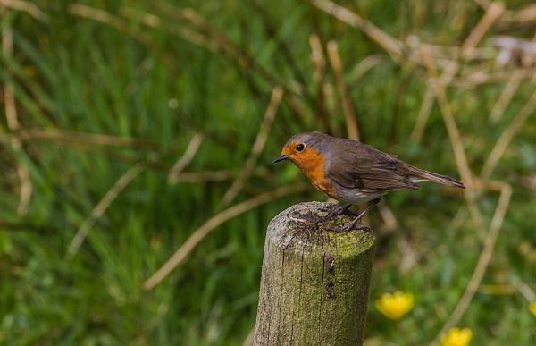 Resting Robin by mondmagu