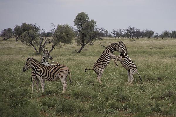 Zebra story by Msalicat