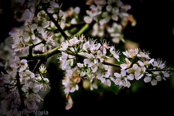 Blossom by MariaElaine