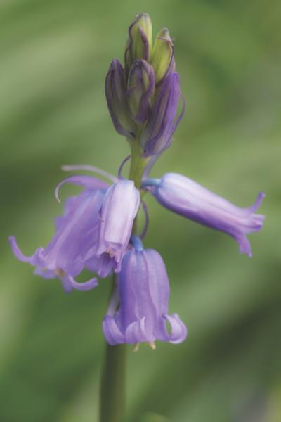 Bluebell Macro by AlanBullGuernsey