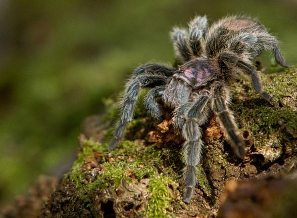 Tarantula by philhomer