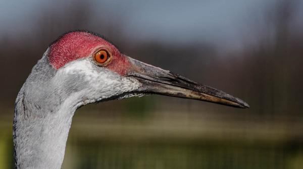 Sandhill crane by Belleyeteres