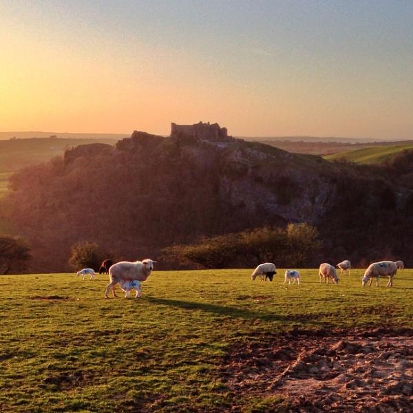 Sheep and Lambs by dp