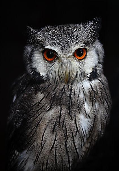 Owl II by simont
