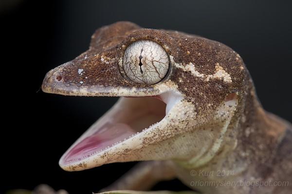 Cyrtodactylus elok by orionmystery