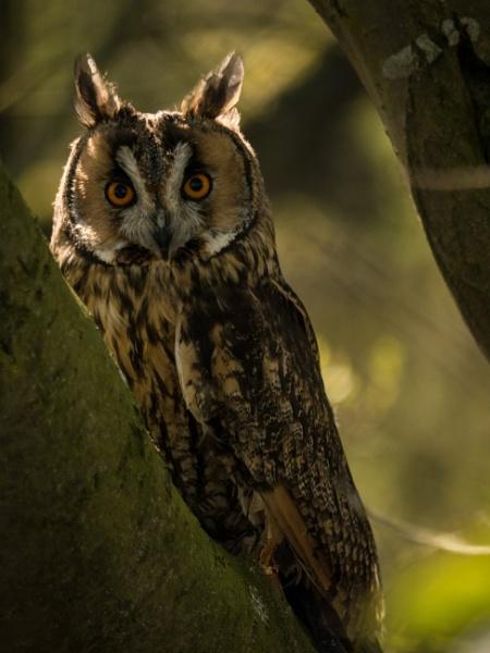 long eared owl by cfreeman