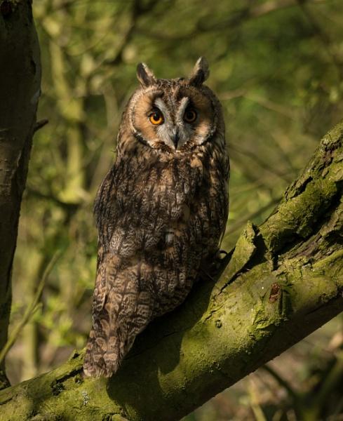 Long eared owl on branch by cfreeman