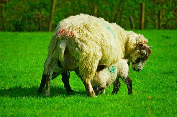 Lambs drinking by diehard4
