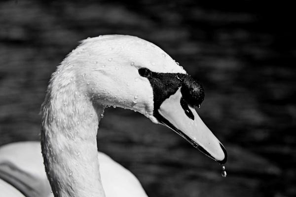 Water swan by diehard4