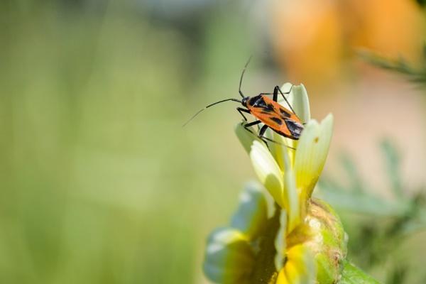 Bug on Daisy 2 by derrymaine