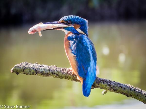 Big fish by Stevetheroofer