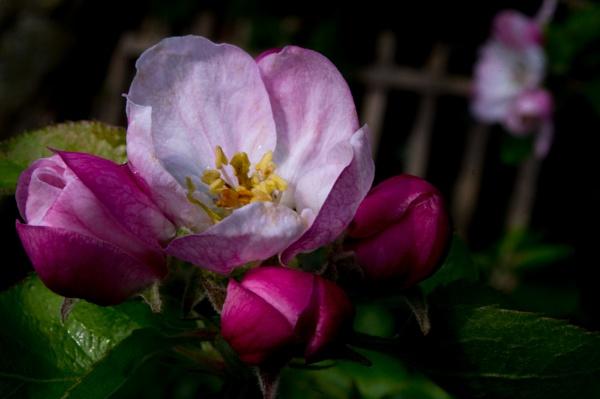 Apple Blossom by Teaka53