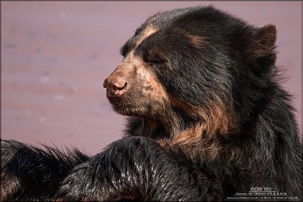 Andean Bear by Paul_Iddon