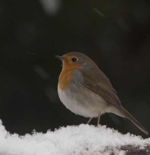 Robin by Richard Hovland