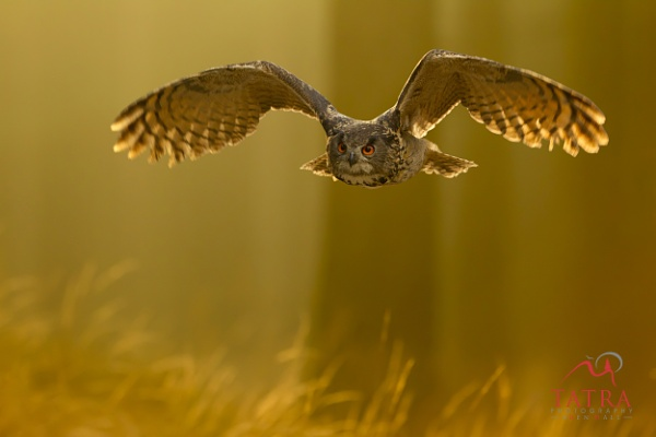 Eagle owl at dawn by TatraPhotography