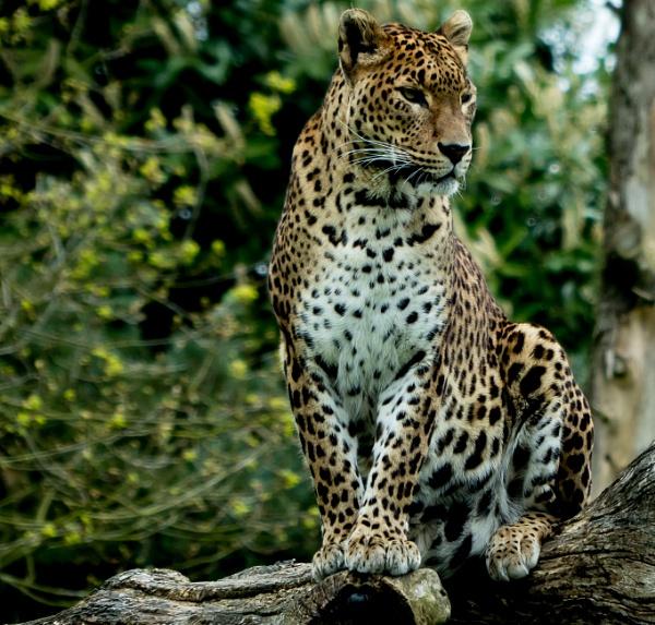 Leopard by Ian Hunter