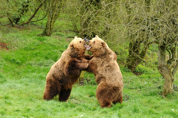 European Brown Bears by vandalp