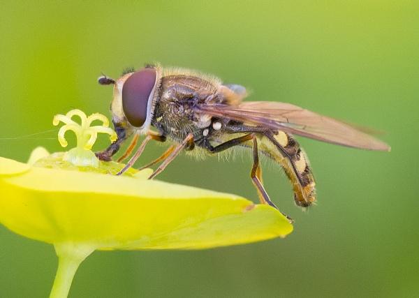 Hoverfly Pelecocera tricincta by Stace
