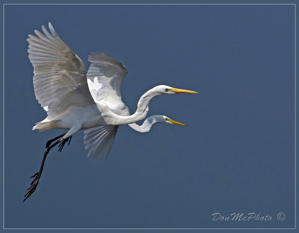 Great Egrets in Flight by DonMc