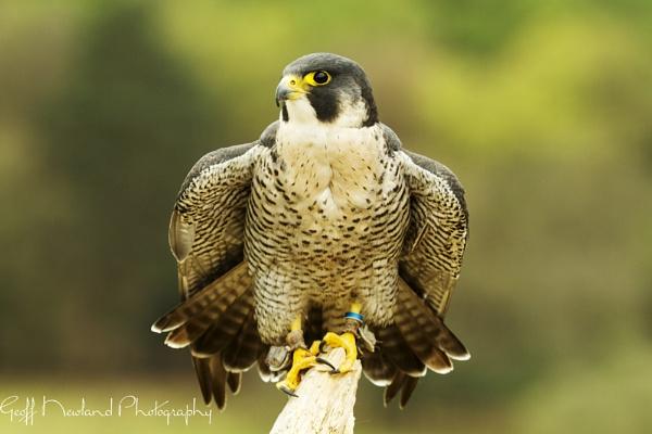 Falcon by Geofferz