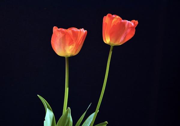Tulips by wulsy