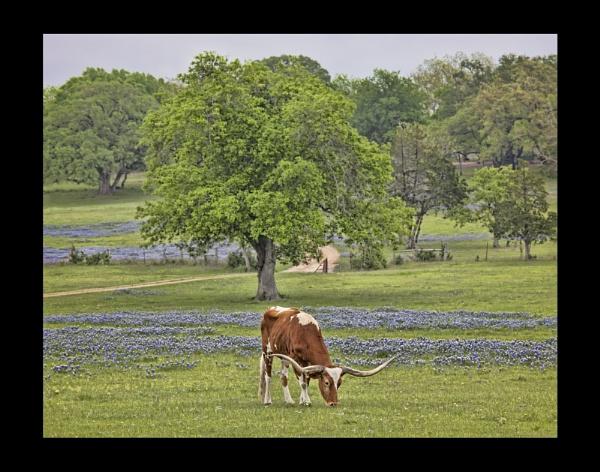 longhorn in blue by abuford
