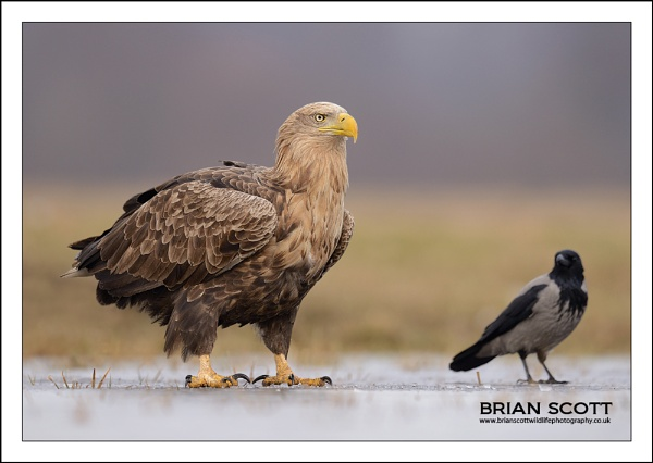 White-tailed Eagle by Brian_Scott