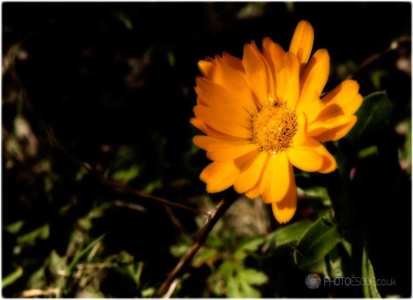 Marigold by adonoghue