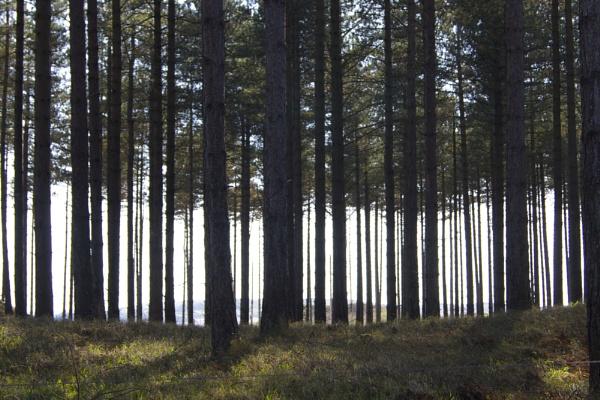Newborough Forest by DilysT