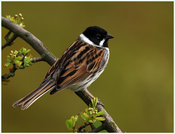 Reed Bunting. by Mike_S