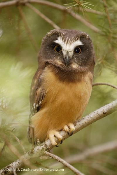 D00004756 Northern Saw-whet Owl by danieljcox