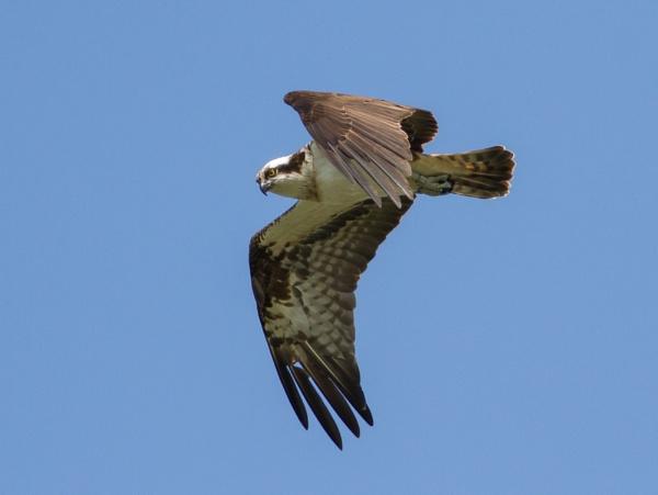 Osprey by PaulB45