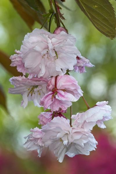 Apple Blosssom by livinglevels