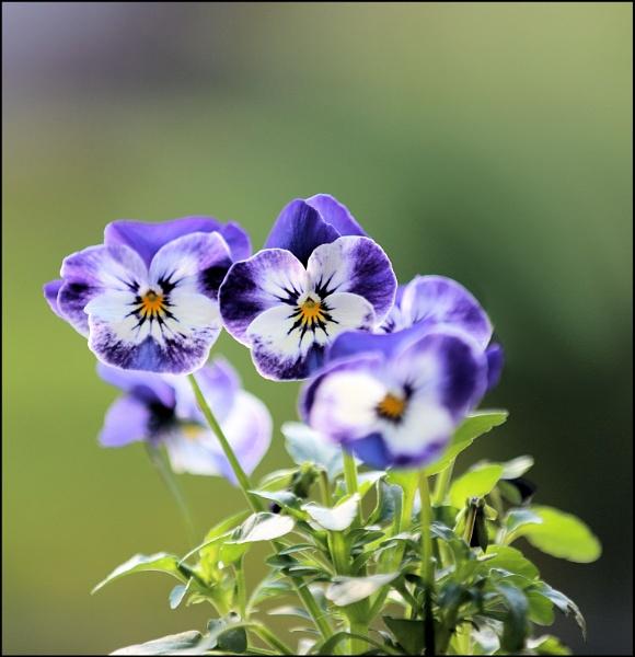 Viola by johnmw