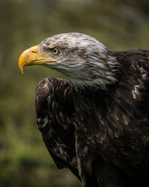 Eagle by cfreeman