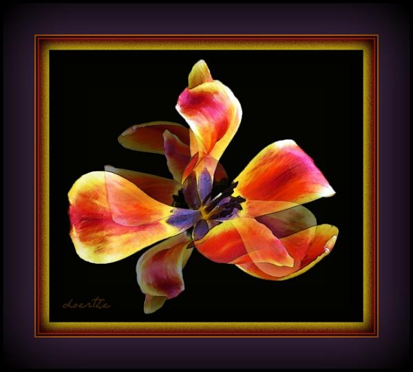 Tulip magic by doerthe