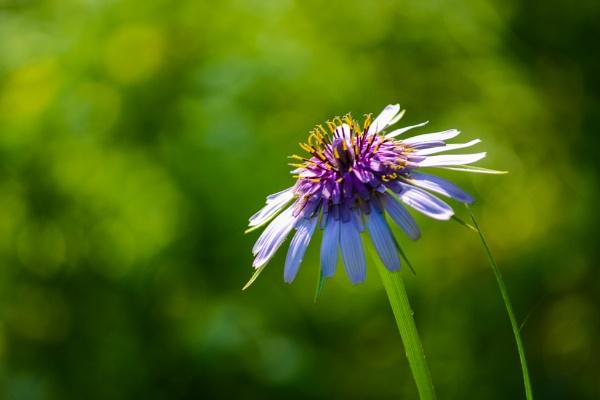 Purple flower by derrymaine