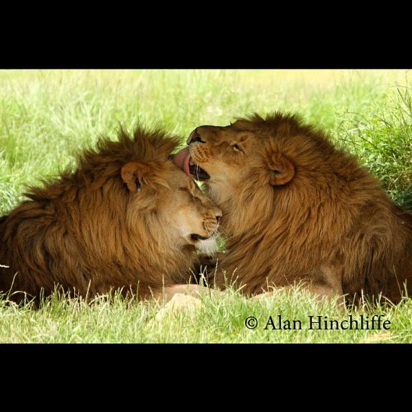 Lions by incheye1971